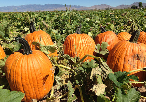 Pick Your Own Pumpkins At Apple Annie S In Wilcox Arizona