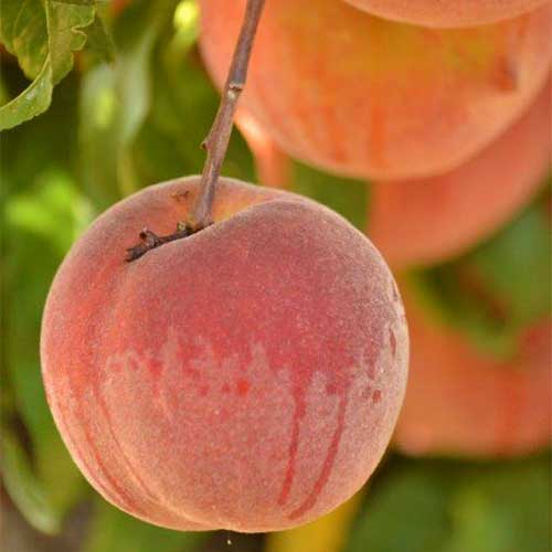Pick-your-own peaches, apples, and pears at our fruit orchards location!